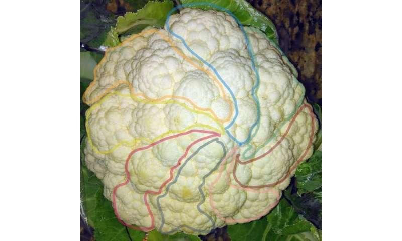 Why do cauliflowers look so odd? We've cracked the maths behind their 'fractal' shape