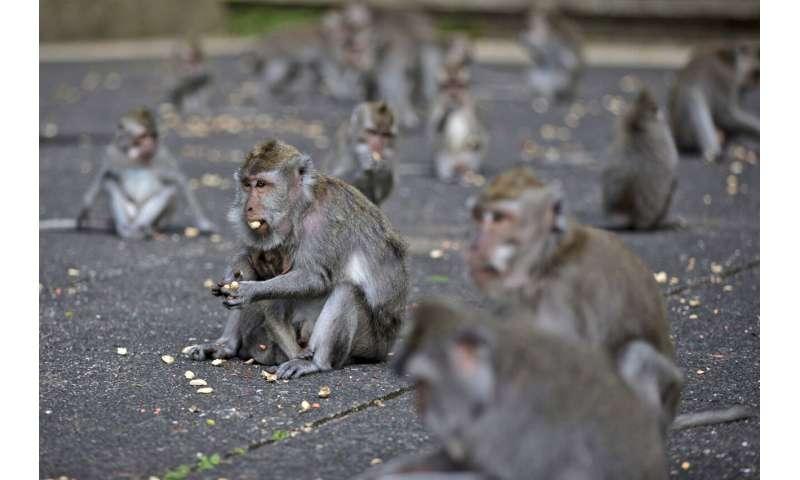 With no tourist handouts, hungry Bali monkeys raid homes