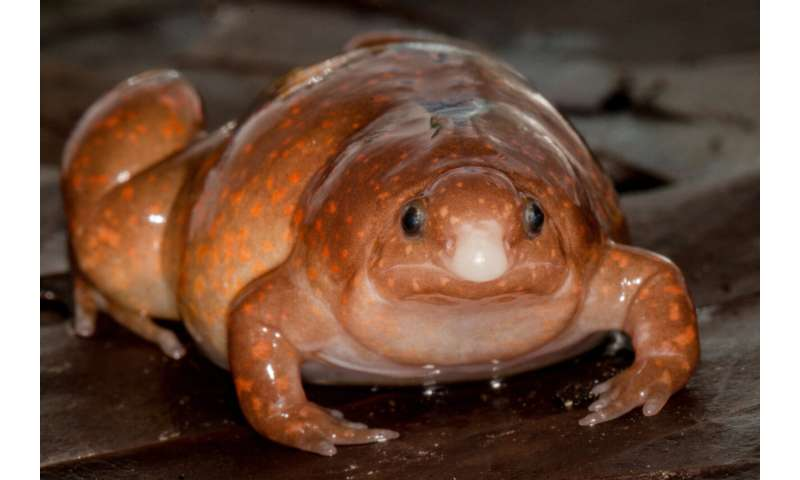"""""""zombie frog"""" discovered: 3 new species described from the narrow-mouthed frog family"""