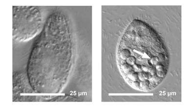 Scientists demonstrate biomagnification of nanomaterials in simple food chain