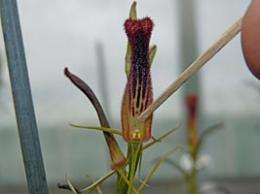 Scientists find new home for threatened orchids