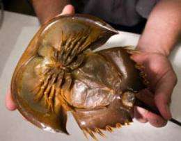 Climate change affects horseshoe crab numbers