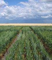 Researchers develop highest yielding salt tolerant wheat
