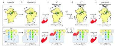 Scientists ratchet up understanding of cellular protein factory