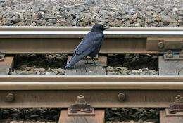 A blackbird forages for food on railway tracks