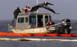 A brown pelican flies past a US Wildlife and Fisheries boat monitoring them at their island in Barataria Bay, Louisiana