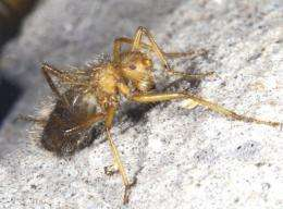 "A handout image shows a specimen of Mormotomiya Hirsuta, also known as the ""terrible hairy fly"""