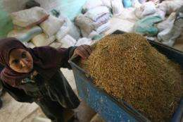 An Egyptian woman looks at her rice prior to it being processed at a rice mill in al-Ramlah village