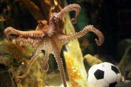An octopus named Paul swims past a football in his aquarium