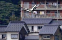 An oriental white stork flies over a park in Toyooka, Hyogo Prefecture