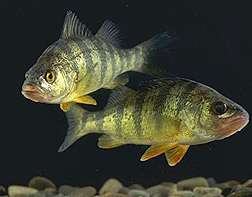 ARS, Cooperators Find Genes Involved in Yellow Perch Growth