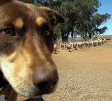 A sheep dog watches over merino sheep as they search for feed on a dry property near Parkes in rural New South Wales