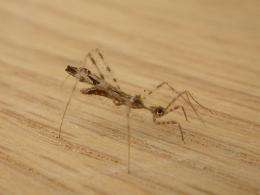 Assassin bugs trap spiders by mimicking prey (w/ Video)