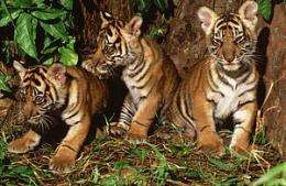 Camera traps yield first-time film of tigress and cubs (w/ Video)