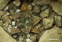 Can cacti 'escape' underground in high temperatures?