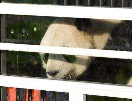 China has 1,590 pandas living in the wild