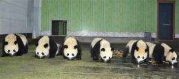 China panda baby boom aids against extinction (AP)
