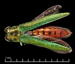 Cornell leads fight against invasive emerald ash borer