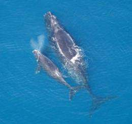 Count Confirms Critical Status Of Endangered Right Whale