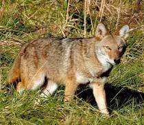 Coyotes not decimating deer numbers according to expert