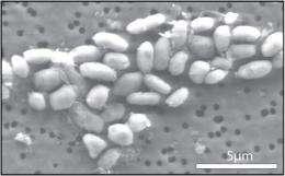 Critics raise doubts on NASA's arsenic bacteria