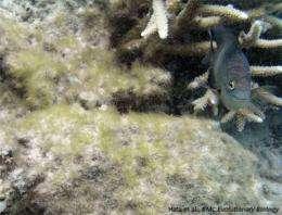 Damselfish 'garden' algae