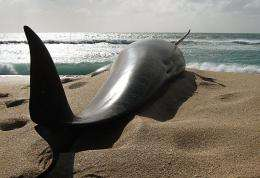 Department Of Conservation handout photo shows a pilot whale that died in 2010 in New Zealand