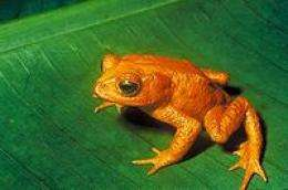 El Niño and a pathogen killed Costa Rican toad, study finds