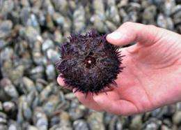 Ever-sharp urchin teeth may yield tools that never need honing