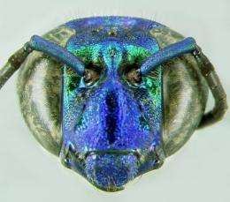 First radio tracking of tropical orchid bees