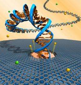 First step toward electronic DNA sequencing: Translocation through graphene nanopores