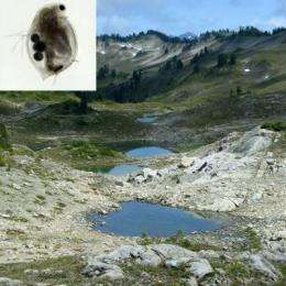 Forget the Coppertone: Water fleas in mountain ponds can handle UV rays