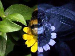 FReD can help explain how a bee sees!