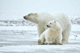 Future of polar bears likely to be grim