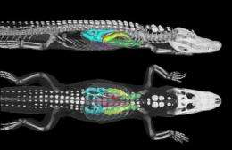 Gators breathe like birds