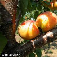 Genetic link found between Hungarian, Turkish apricots
