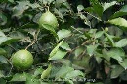 Genetic origin of cultivated citrus determined