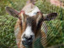 goat silk