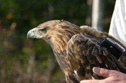 Golden eagles studied by satellite