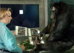 If bonobo Kanzi can point as humans do, what other similarities can rearing reveal?