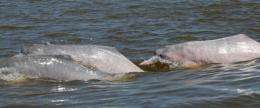 In contrast to the Amazon River dolphins, their Bolivian relatives have more teeth, smaller heads