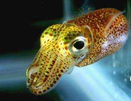 In sync: Squid, glowing companions march in genetic harmony