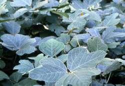 Invasive kudzu is major factor in surface ozone pollution, study shows