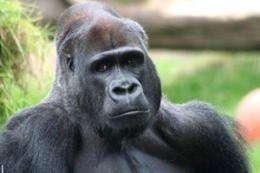 Malaria parasite crossed to Man from gorilla: scientists