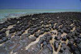 Modern stromatolites at Shark Bay, WA