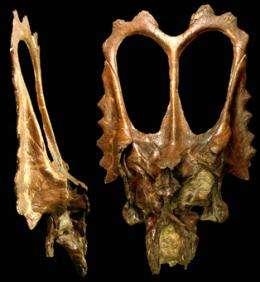 Mojoceratops: New Dinosaur Species Named for Flamboyant Frill