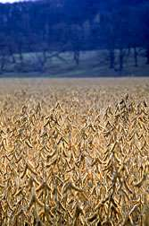 New ARS-Developed Soybean Line Resists Key Nematode