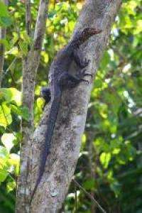 New monitor lizard discovered in Indonesia