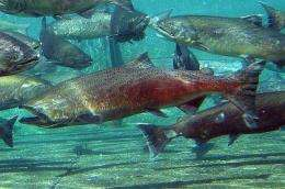 New system helps explain salmon migration