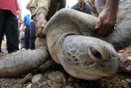 Numbers of green turtles in Malaysia plummeted in the 1980s due to rampant coastal development
